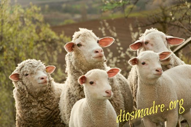 mis ovejas oyen mi voz-diosmadre.org
